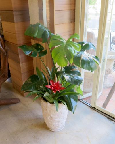 0312観葉植物ギフト モンステラとアンティーク鉢