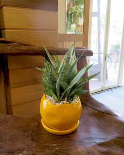 0311観葉植物ギフト サンスベリアのイエロー鉢