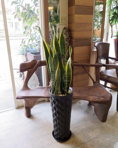 0313観葉植物ギフト サンスベリアとダイヤブラック鉢