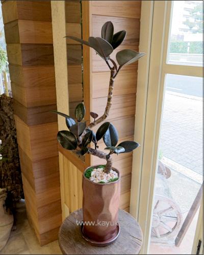 0317観葉植物ギフト フィカスバーガンディとブロンズ鉢