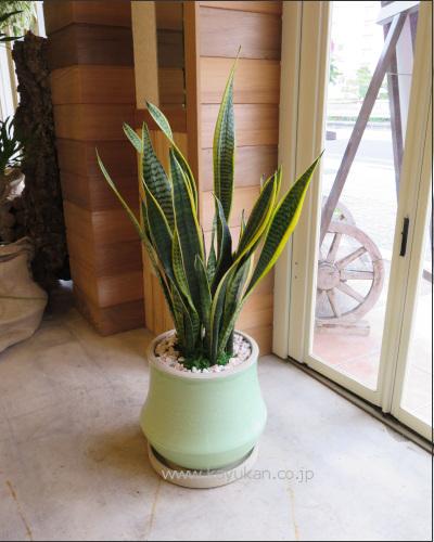 0316観葉植物ギフト サンスベリアとララグリーン鉢