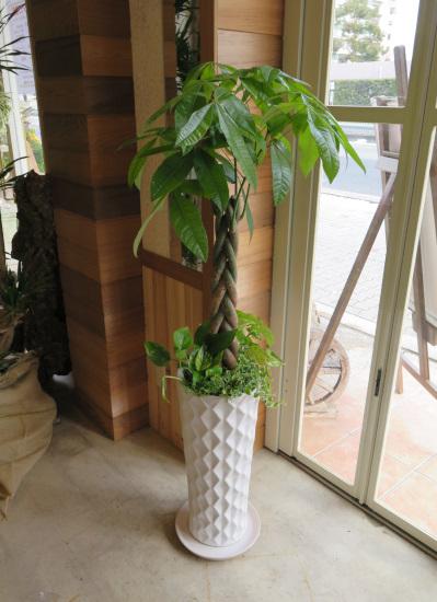0318観葉植物ギフト パキラとダイヤホワイト鉢