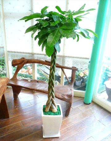 0118【送料無料でご予算ラクラク】観葉植物ギフト シンプル・パキラ一本植え(ホワイトスクエア鉢)