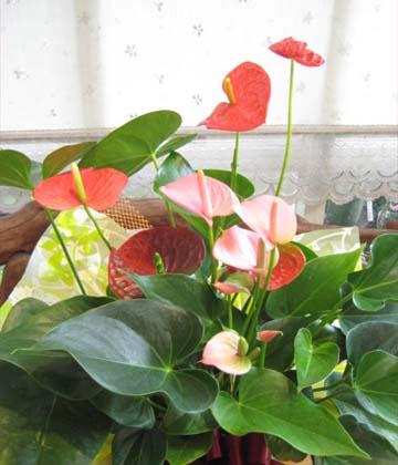 0126【送料無料】夏だけのお楽しみ♪アンスリウムの2色寄せ植え