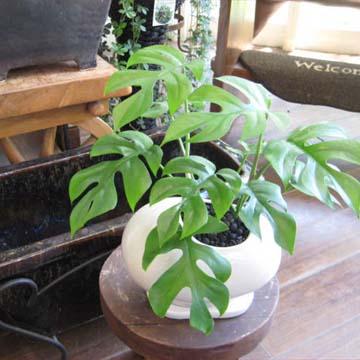 0013観葉植物ギフトモンステラとビーンズ鉢(白)