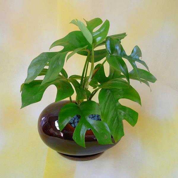 0015観葉植物ギフトモンステラとビーンズ鉢(茶)