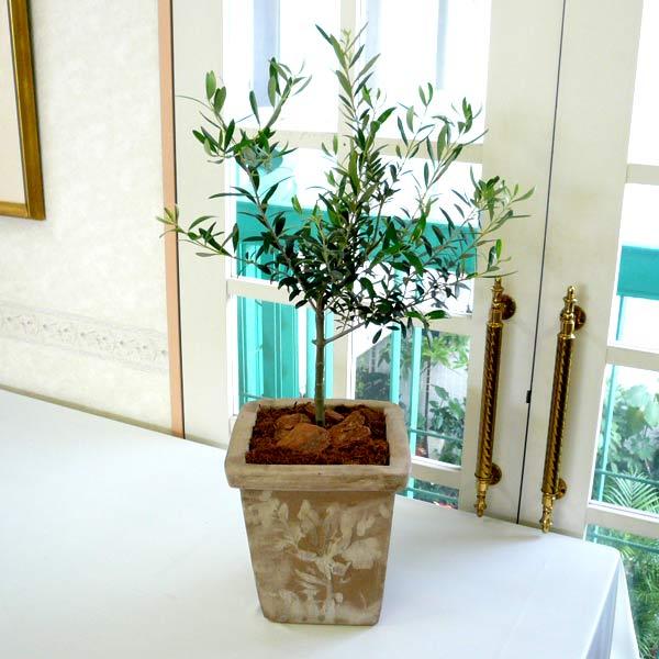 観葉植物ギフト 屋外 オリーブ