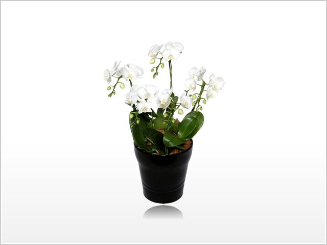 ミディホワイト胡蝶蘭5本立