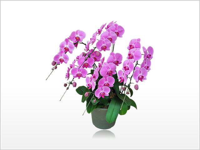 スタンダードピンク胡蝶蘭5本立