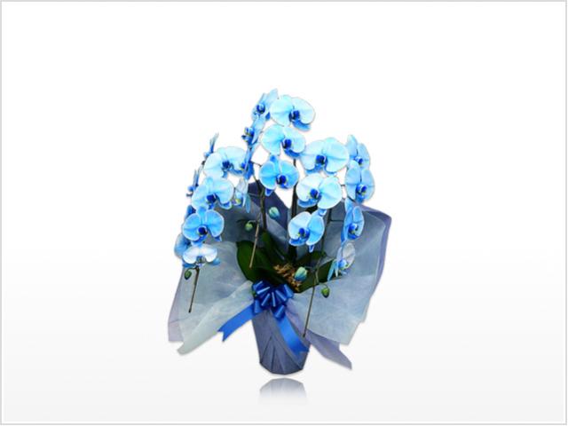 スタンダード大輪胡蝶蘭ブルー3本立横