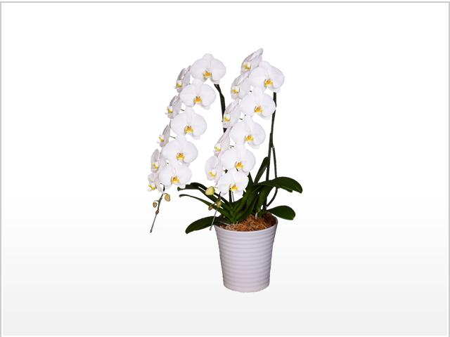 スペリオール大輪胡蝶蘭ホワイト2本立
