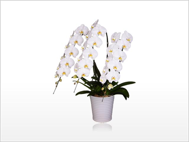 スペリオール大輪胡蝶蘭ホワイト3本立