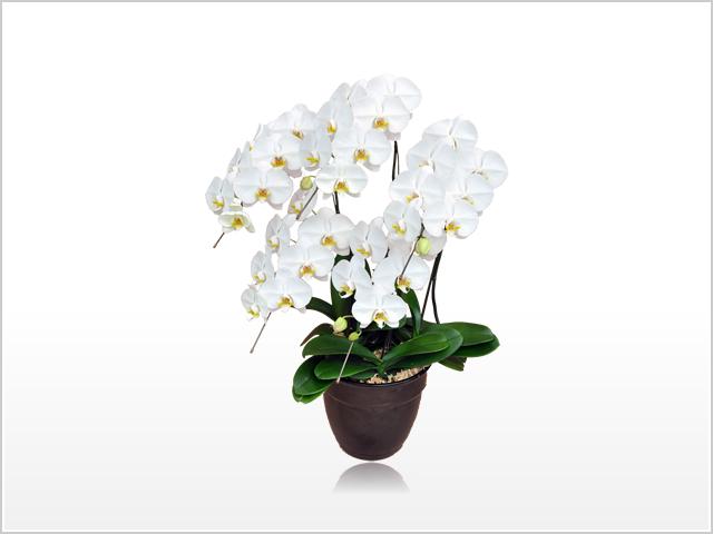レギュラーホワイト胡蝶蘭5本立