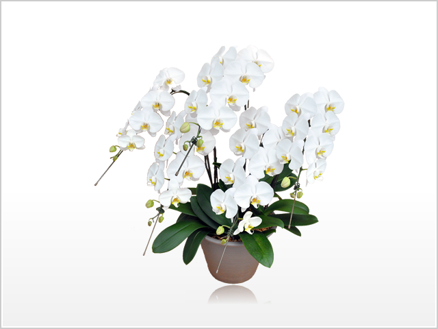 スタンダードホワイト胡蝶蘭5本立