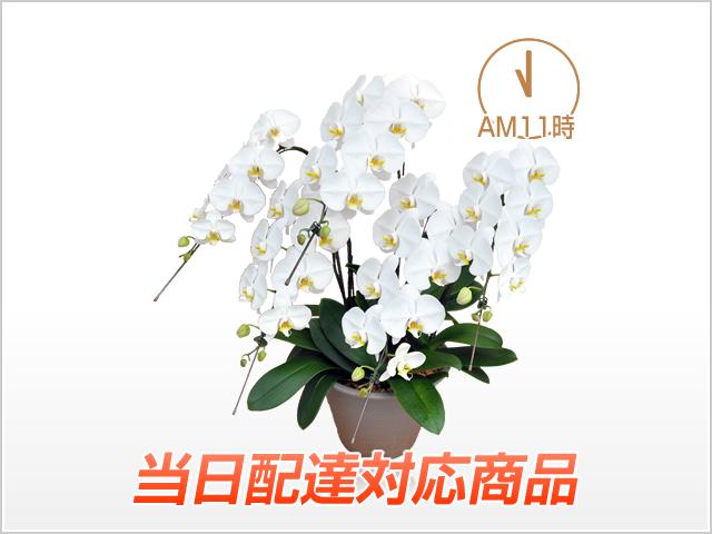 【当日配達】スタンダードホワイト胡蝶蘭5本立