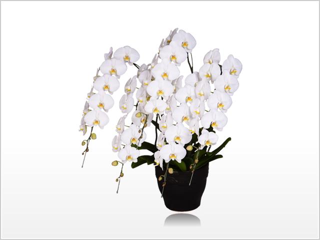 スペリオール大輪胡蝶蘭ホワイト5本立