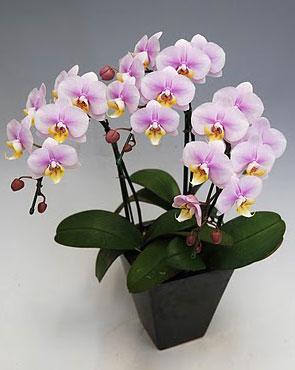 ミディ胡蝶蘭さくらこ3本立ち以上 角鉢 【ラッピング不可】