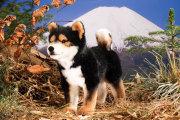柴犬(しばいぬ・黒) 【10%OFF】【送料無料】