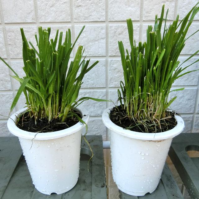 うさぎの根っこ付き生牧草 無農薬・無肥料 イタリアンライグラス