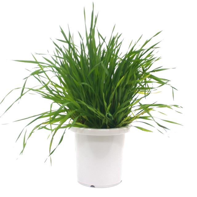 【期間限定】うさぎの根っこ付き生牧草 無農薬・無肥料 チモシー[ヤング][鉢付き]
