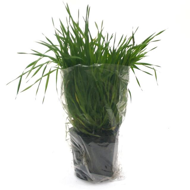 【期間限定】うさぎの根っこ付き生牧草 無農薬・無肥料 チモシー[ヤング]