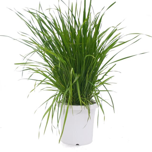 うさぎの根っこ付き生牧草 無農薬・無肥料 イタリアンライグラス[ヤング][鉢付き]
