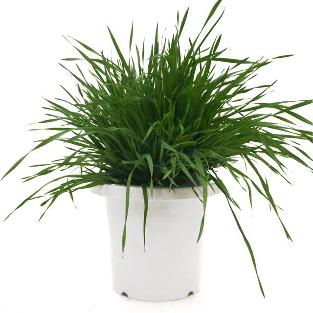 【期間限定】うさぎの根っこ付き生牧草 無農薬・無肥料 チモシー[鉢付き]