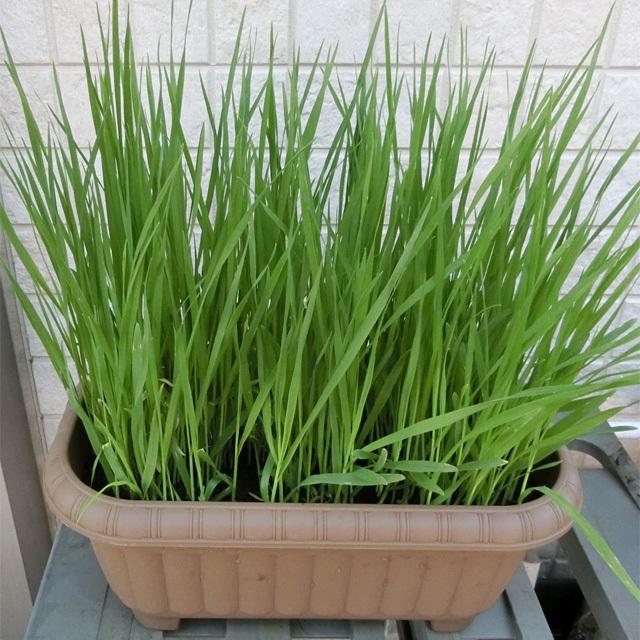 エン麦の種 約10g