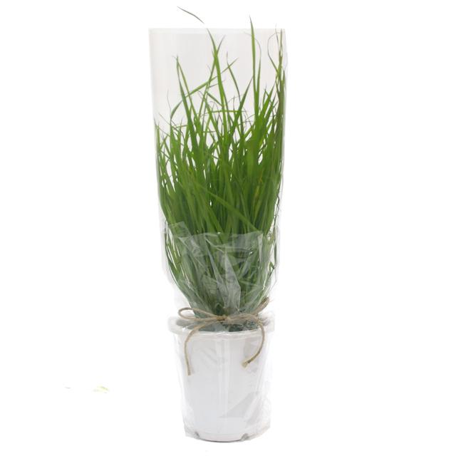 うさぎの根っこ付き生牧草 無農薬・無肥料 イタリアンライグラス[ヤング]