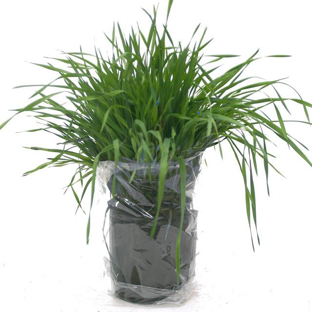 【期間限定】うさぎの根っこ付き生牧草 無農薬・無肥料 チモシー