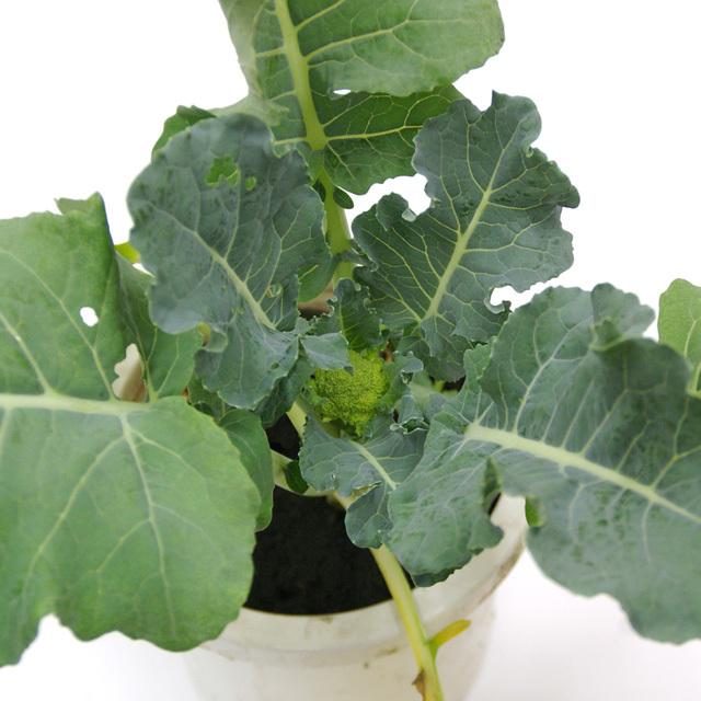 こだわりのうさぎの根付き生ブロッコリー葉