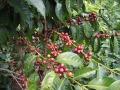 グァテマラ サンタカタリーナ農園フレンチロースト(500g)[sc-22-5] 〔グァテマラ産/自家焙煎/深煎りコーヒー豆 10%OFF〕