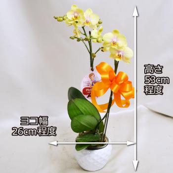 重厚な黄色にピンクがほんのり入ったミディ胡蝶蘭