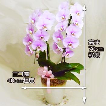 可愛いピンクの中輪胡蝶蘭2本立ち