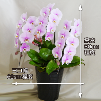 可愛いピンクの中輪胡蝶蘭