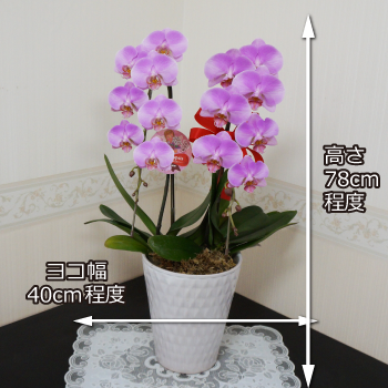 ピンクに近い紫の上品な胡蝶蘭