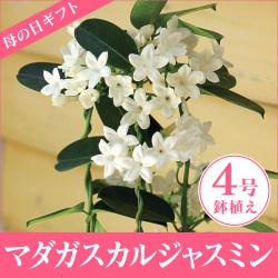 ≪完売≫【メーカー直送・代引不可】マダガスカルジャスミン4号鉢