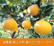 減農薬 樹上完熟 春のさつきハッサク