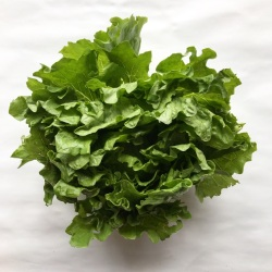 有機・無農薬栽培のレタス