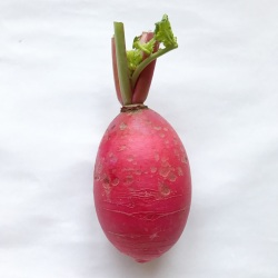 有機・無農薬栽培の赤大根
