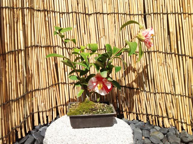 天ヶ下「あまがした」(古典椿)盆栽作り