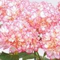 アジサイ鉢植え 「未来」 5号 カゴ付
