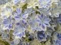 アジサイ鉢植え 万華鏡 ブルー5号
