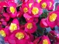 リーガースベゴニア鉢植え 新品種ヴァレンティーノ