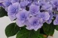 【母の日フラワーギフト】アジサイ鉢植え フェアリーアイ ブルー5号