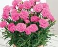 カーネーション鉢植えピンク「クレア」5号 カゴ付