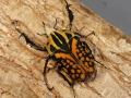 オーベルチュールオオツノハナムグリ幼虫♂♀ペア No.4698