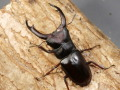 メルキオリティスフタマタ.幼虫3頭 マット付 No.6067