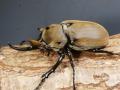 エレファスゾウカブト幼虫3頭 マット付 No.6150