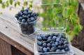 無農薬栽培 冷凍ブルーベリー 500g